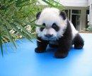 Google Panda puccioso